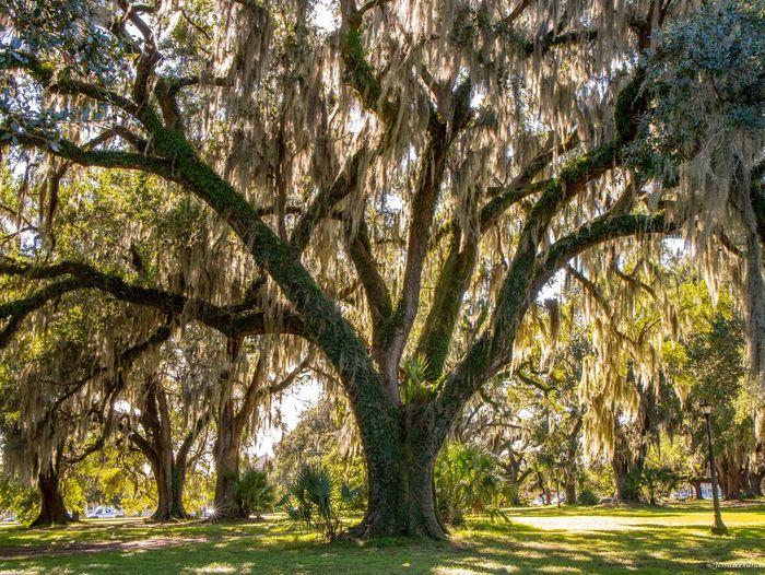 Oak Tree Oak