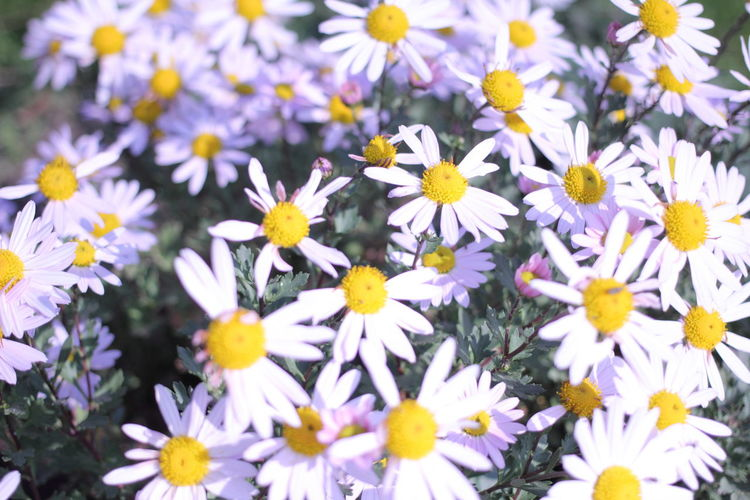 Close-up of fresh white flowers blooming in field