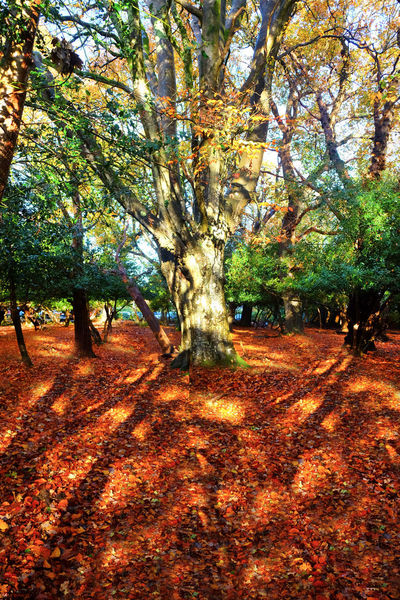 Brockenhurst Tree Plant Autumn Nature Land Tranquility Plant Part Beauty In Nature Change Leaf Growth Day Tranquil Scene Forest Park Outdoors Tree Trunk Landscape Scenics - Nature Sunlight No People Leaves Fall New Forest