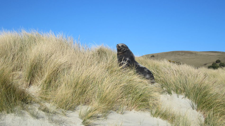 Animal Animal Head  Animal Themes Animals In The Wild Day Dunedin Dunedin Peninsu DunedinNZ Field Geology Grass Majestic Mammal Nature No People One Animal Outdoors Physical Geography Power In Nature Relaxation Remote Sealion  Wildlife