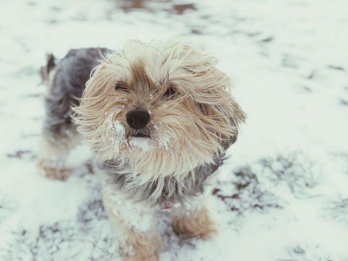Vivi my snowdog