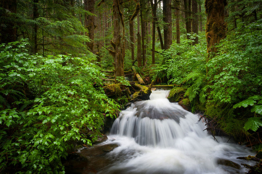 Rainforest Creek. Wells Creek is a lovely rainforest area located along the Mt. Baker highway in western Washington state. Beauty In Nature Douglas Fir First Eyeem Photo Flowing Flowing Stream Flowing Water Flowing Water Forest Long Exposure Lush Foliage Motion Motion Blur Mt. Baker No People Nooksack River  Outdoors Power In Nature Rainforest River Silkywaters Stream Water Waterfall Wells Creek Woods