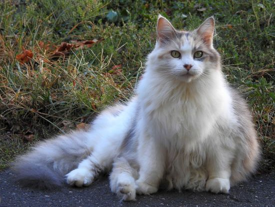 Beautiful Cat Calico Cat Cat Cat Lovers Cat Photography Cat Portrait Catlovers Dilute Calico Dilute Calico Cat Fluffy Cat Gorgeous Cat I Am Beautiful I'm Not Fat Long Haired Cat Maine Coon Maine Coon Cat Maine Coon Cats Maine Coon Mix Pet Photography  Pet Portrait NikonP900