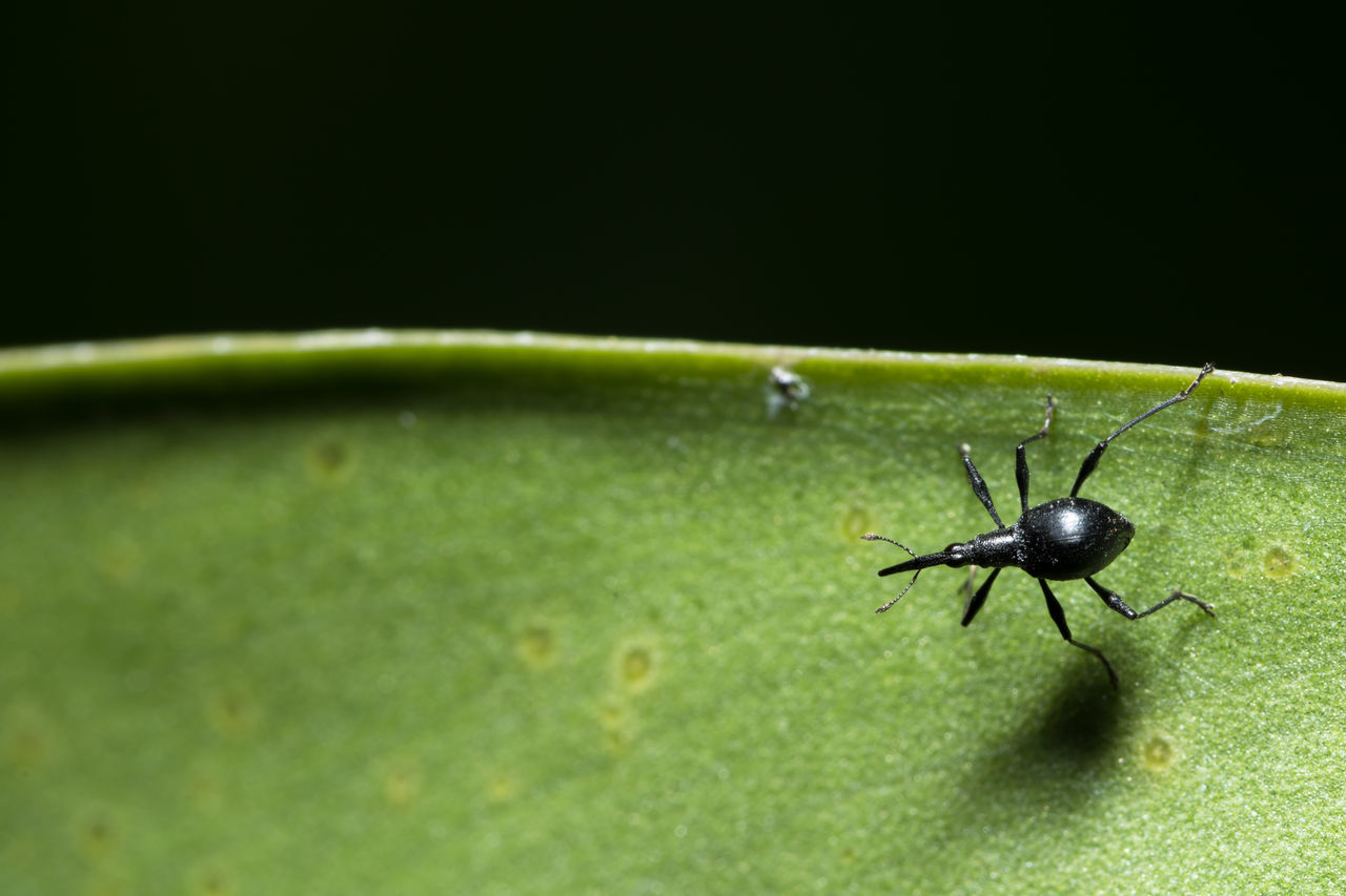 High Angle View Of Weevil On Leaf