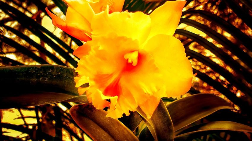 Cattelya Orchid Flower Close-up Beauty In Nature No People Freshness Day Vibrant Yellow Garden Plants Petal Green Leaf, Darker Shadow