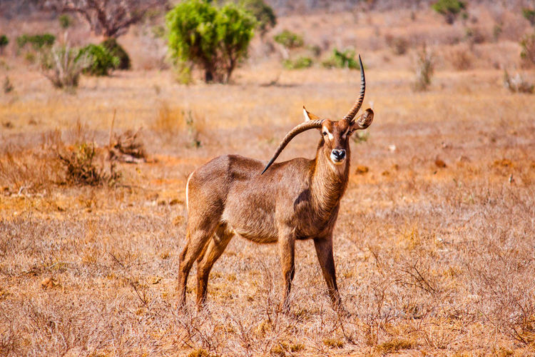 Gazelle with damaged horn on field at tsavo east national park