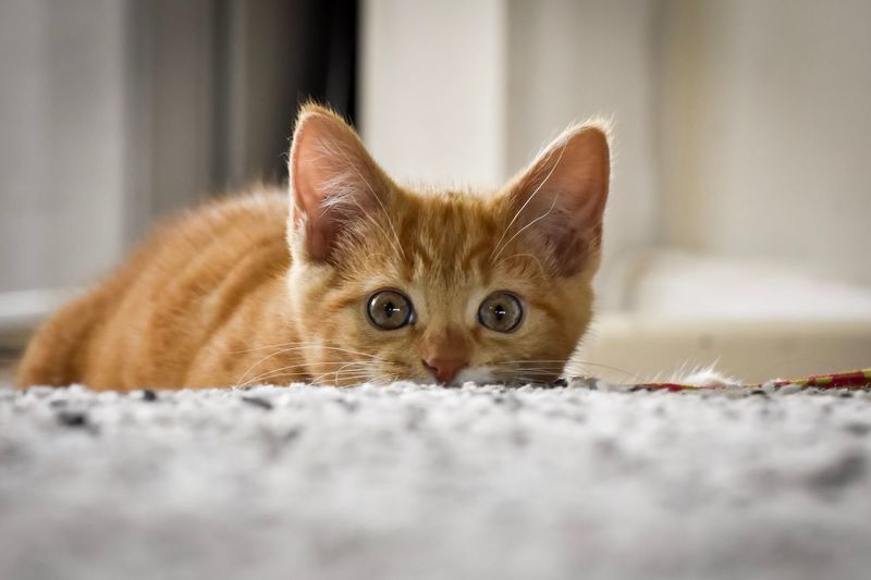 Portrait of cat lying down on carpet