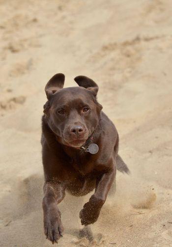 Portrait of dog running on beach