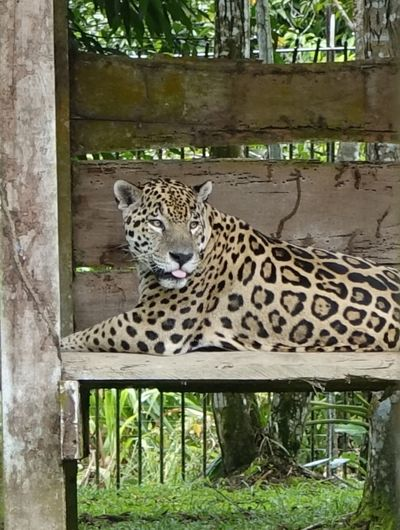 Cat relaxing in zoo