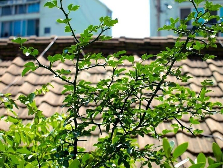 Spring April Rose Tree Olympus E-PL1 Zuiko 14-54mm II Snapshot In Suwon Relaxing Taking Photos