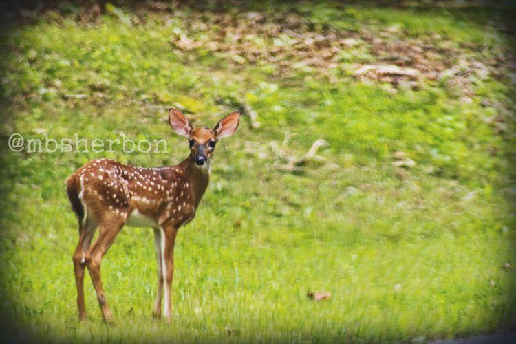 Travel Explore Roadtrip Tennessee Nature Wideopenspaces Field Deer Grass EyeEm Nature Lover