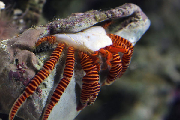 Animal Markings Animal Themes Animals In The Wild Beauty In Nature Close-up Day Focus On Foreground Haloween Hermit Hermit Crab Nature No People One Animal Outdoors Sea Life The Week On EyeEm