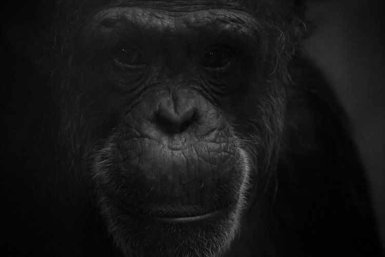 One Animal Animal Themes Portrait Looking At Camera Animals In The Wild Animal Wildlife Close-up Mammal No People Black Background Nature Day Chimpanzee Outdoors Animal Head  Animal Photography Close Up Zoo Animals  Intelligence Animals In Captivity Monkey Chimpanzee Primate Looking At Camera Zoo