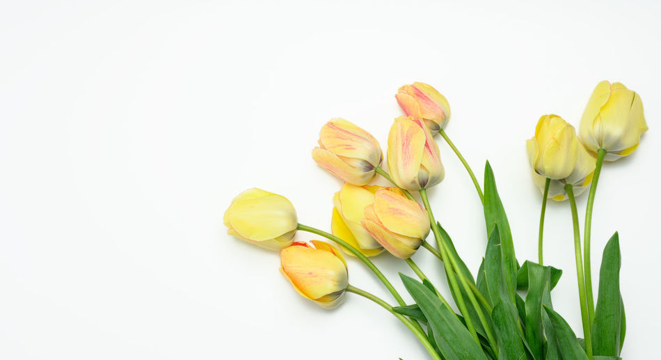Close-up of yellow tulips against white background
