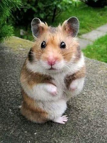 Hi. I'm Cute. Hi! Cheese! Hamster Syrian Hamster  Love Cute Pets Hamster Love