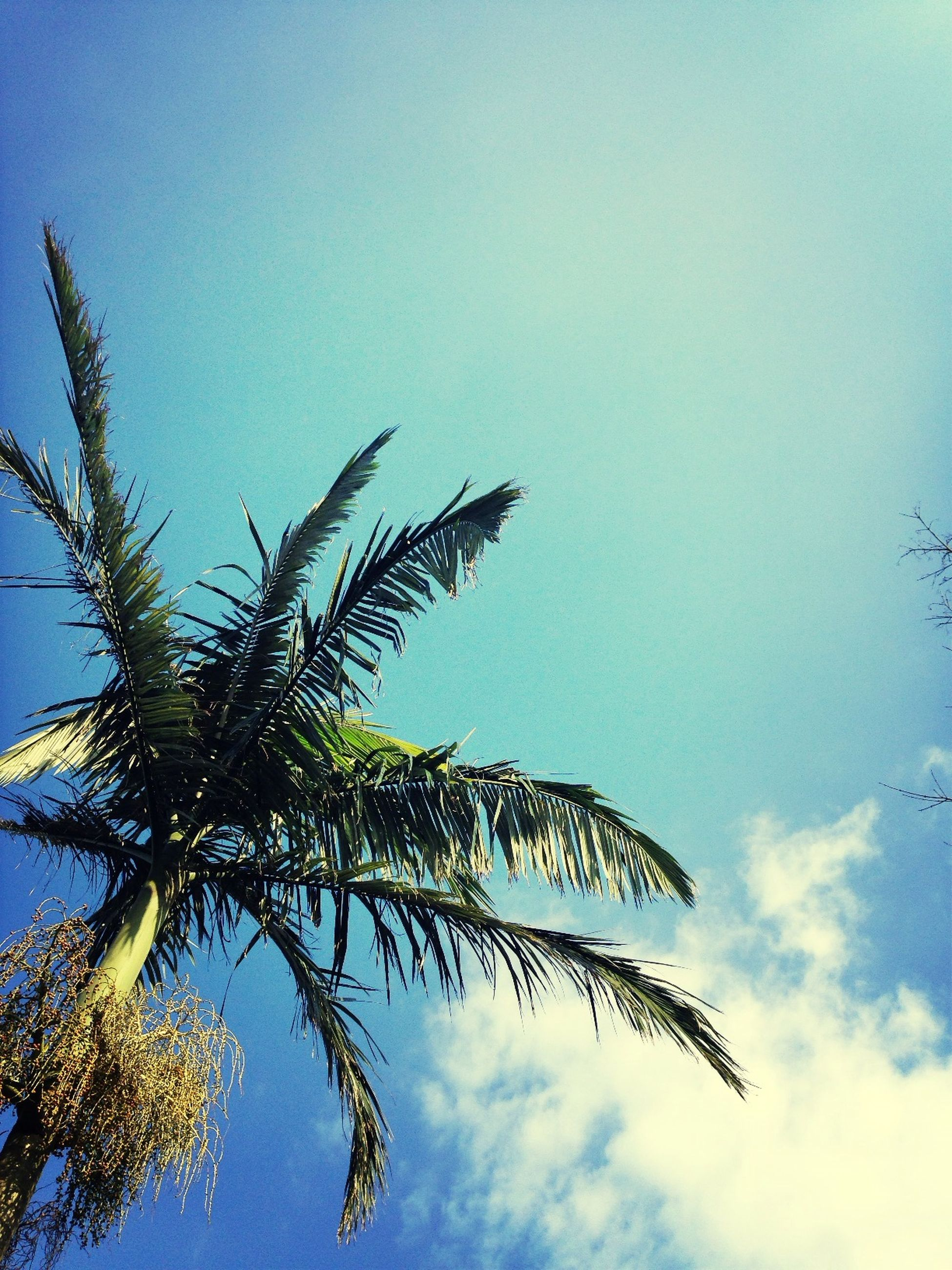 low angle view, growth, sky, blue, nature, tree, branch, tranquility, leaf, beauty in nature, plant, day, clear sky, stem, no people, outdoors, palm tree, growing, twig, high section