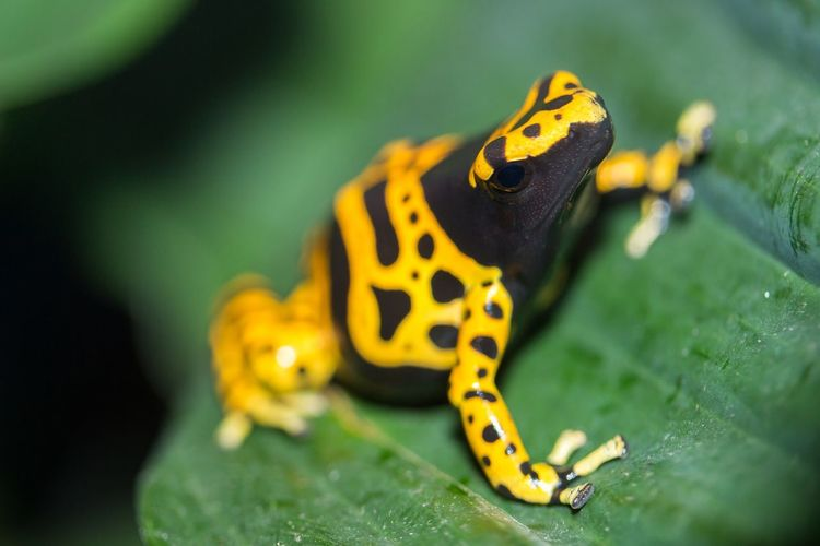 Close-Up Of Poison Arrow Frog On Wet Leaf