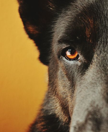 MyWolf Pet Photography Lovely <3 <3 <3 German Shepherd Pastor Alemán