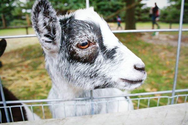 Animal Themes One Animal Close-up Focus On Foreground Domestic Animals Nature Outdoors Goats Goat Selfie Focal Point Nature Photography Nature_collection