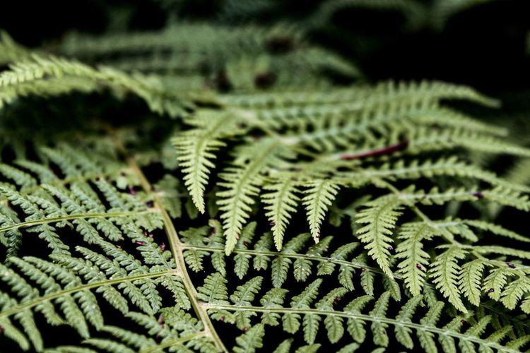 Fern Leaf,