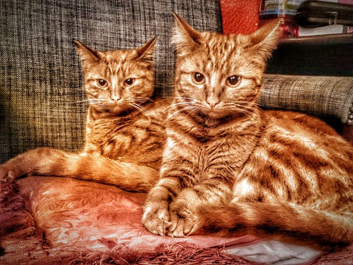 Taking Photos Relaxing From Where I Stand Hdrphotography EeYem Best Shots HDR Cats Cats Of EyeEm Beautiful Nature Animal Photography Pets Ginger Cat