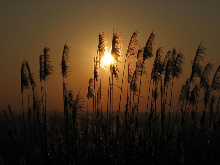Agriculture Beauty In Nature Cereal Plant Close-up Crop  Day Ear Of Wheat Field Freshness Growth Nature No People Outdoors Plant Rural Scene Scenics Silhouette Sky Sun Sunset Tranquil Scene Tranquility