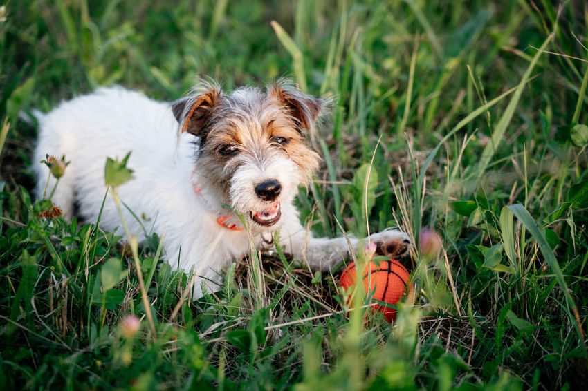Jack Russell Terrier puppy dog with long hair play orange ball in green grass Canine Dog Pets Domestic Domestic Animals Mammal Animal Themes One Animal Grass Plant Portrait Animal Head  Ball Jack Russell Terrier