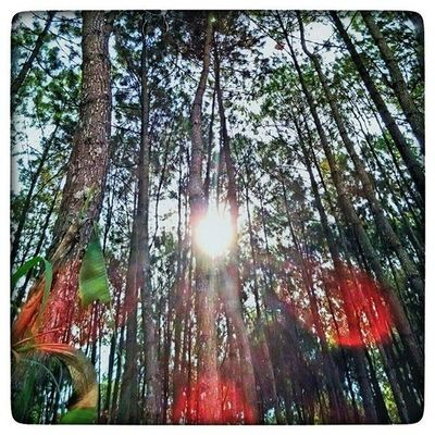 -Semoga seluruh mahluk hidup berbahagia seru sekalian alam. [Om Swastyastu] Nature Sunbeam Naturallight Spruce Pine Trees Woods Sunrays Sunlight Mothernature Photographcatcher Mobilephotography StillLife StillLifePhotography Ksagamaksara Blessed