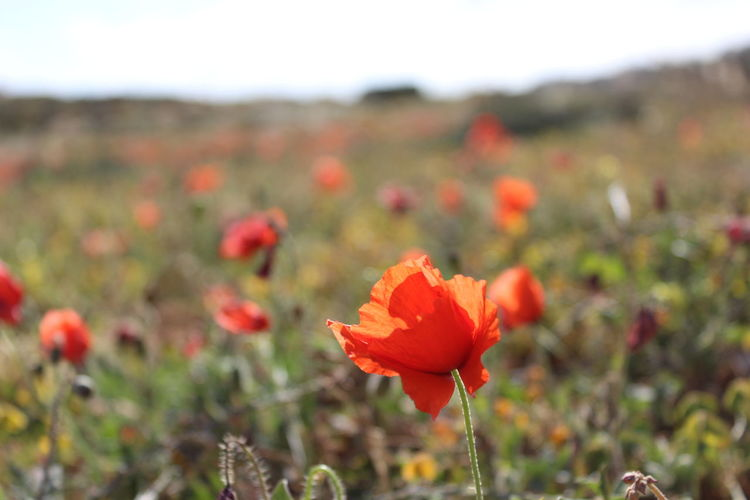 In Bloom Poppy Selective Focus Tranquil Scene First Eyeem Photo