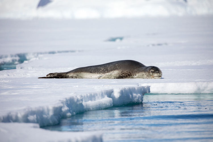 Animal Animal Themes Animal Wildlife Animals In The Wild Cold Temperature Day Frozen Glacier Ice Mammal Nature No People One Animal Outdoors Sea Seal - Animal Snow Surface Level Vertebrate Water Winter