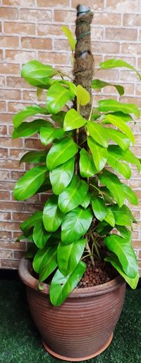 Green Plant on Big Vase Brown Pot Thick Stem Plants Plant Gardening Green Leaves Green Plant Brown Vase Brick Wall Light Green Color Light Green Growth In Bloom Big Leaves Decorative Plants Green Color Leaf Growth Plant No People Nature Close-up Freshness