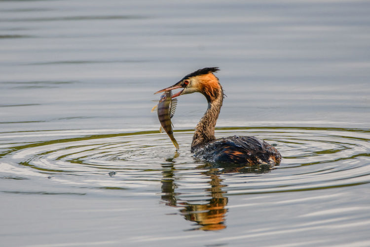 Great crested grebe with a perch. It took a while, but the grebe did manage to swallow the fish. Photo taken at Lackford Lakes, Suffolk, UK Great Crested Grebe Perch Animal Themes Animal Wildlife Bird Grebe Grebe Bird Grebe With Fish Grebe With Perch Lake Perch Fish Water Water Bird Water Bird Collection Water Birds