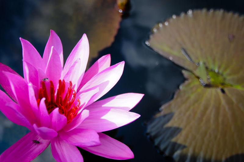 EyeEm Best Shots - Nature EyeEm Nature Lover Beauty In Nature Close-up Floating On Water Flower Flower Head Flowering Plant Fragility Freshness Growth Inflorescence Lake Lotus Water Lily Nature No People Petal Pink Color Plant Pollen Purple Vulnerability  Water Water Lily