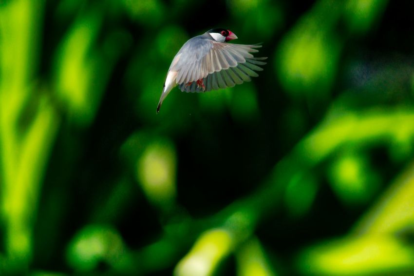 Java Sparrow in Flight Animal Themes Animal Wildlife Animals In The Wild Beauty In Nature Bird Close-up Day Flying Focus On Foreground Green Color Mid-air Nature No People One Animal Outdoors Spread Wings