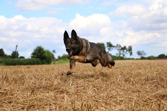 belgian shepherd is running on the stubble field Action Animal Themes Belgian Malinois Belgian Shepherd Cloud - Sky Day Dog Domestic Animals Fast Field Flying Malinois Mammal Nature No People One Animal Outdoors Pets Sky Sport Stoppelfeld Stubble Stubble Field Summer