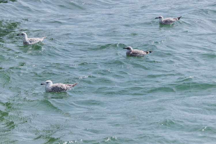 View of ducks swimming in sea