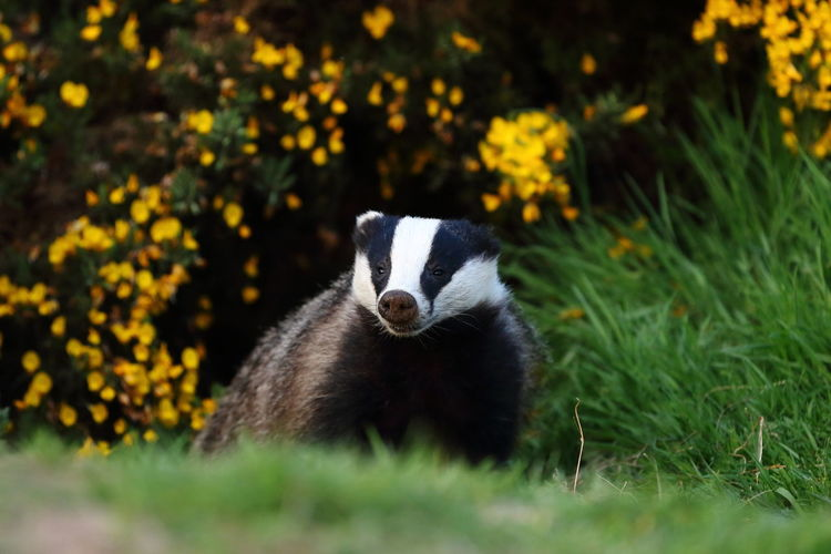 Grass Green Color Out Dooors Wildlife & Nature Wildlife Photography Wildlife Photos Yellow Flower Animal Themes Animal Wildlife Animals In The Wild Badger Bear Day Grass Nature No People One Animal Outdoors Panda - Animal Wildlife