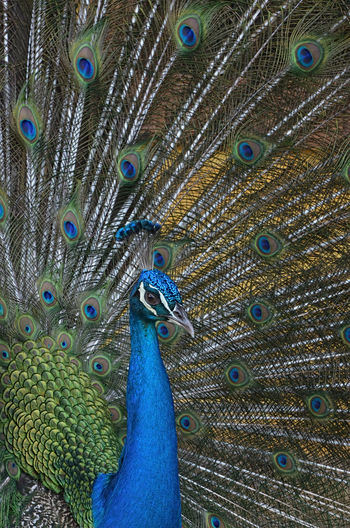Peacock With Fanned Out Feathers