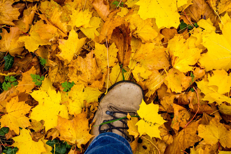 Low section of person standing on yellow maple leaves during autumn
