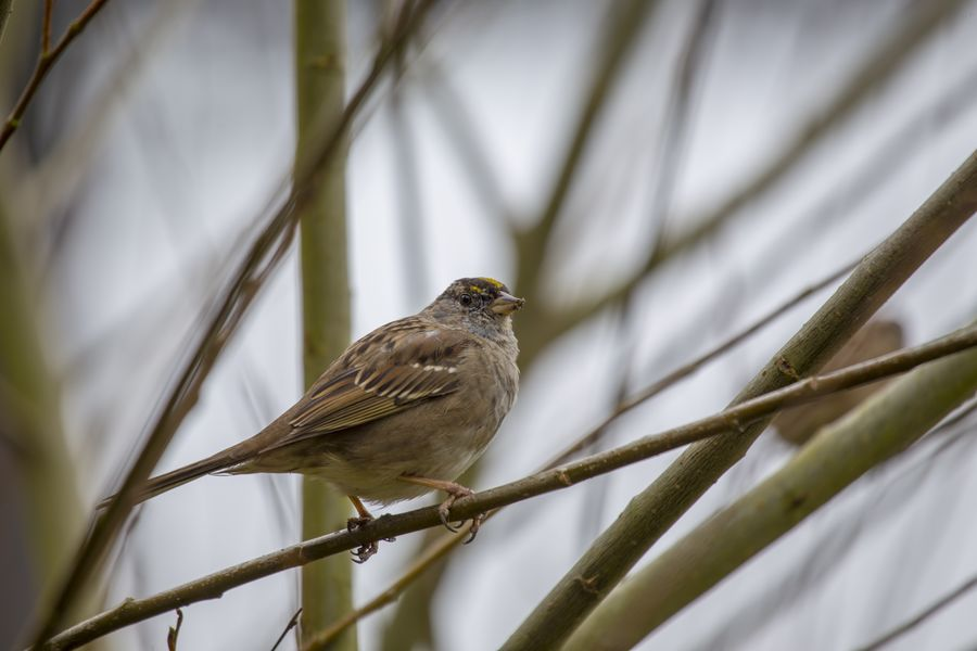 White-Crowned Sparrow (Zonotrichia leucophrys) Animal Animal Themes Animal Wildlife Animals In The Wild Bird Day Nature No People One Animal Outdoors Perching Plant Selective Focus Tree Vertebrate White-crowned Sparrow