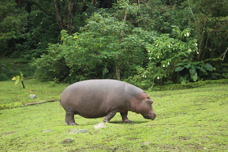 Hippopotamus at