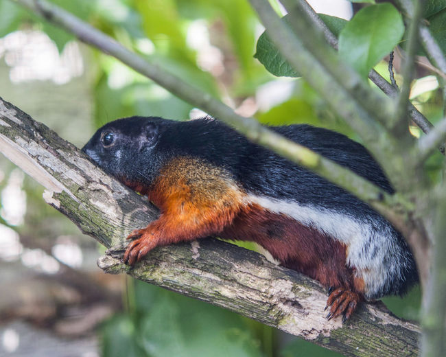 Side View Of Squirrel On Tree Trunk Branch