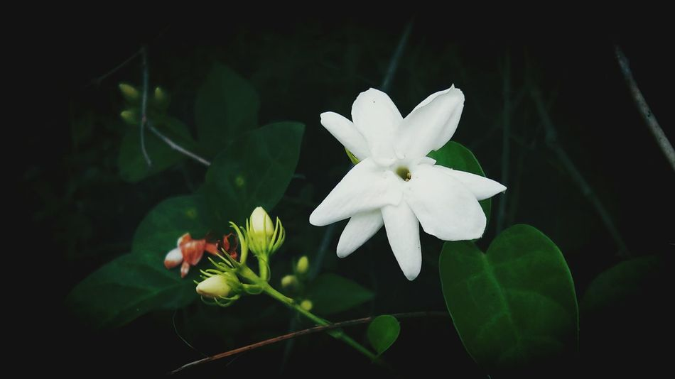Flower Flower Head Nature Petal Freshness Beauty In Nature Plant Close-up Growth Jasmine Jasmine Flower Jasmine Collection Jasmine Flowers Daytime Photography Beauty In Nature Travel Photography Traveler Nature Outdoors Day Growth Plant