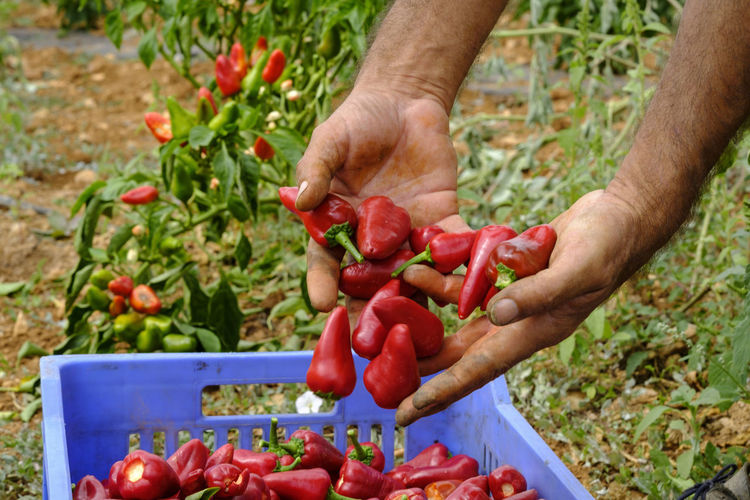 Midsection of man holding red chili peppers in container