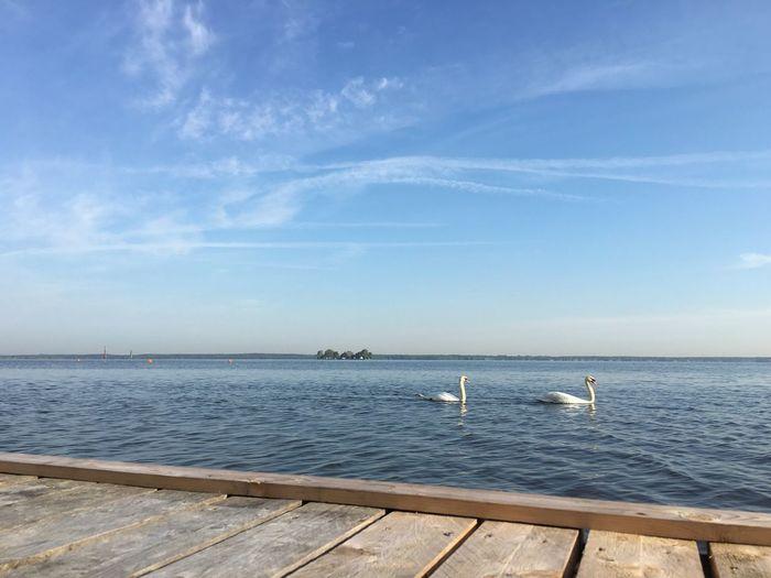 Schwäne am Steinhuder Meer mit Wilhelmstein im Hintergrund... Check! Swan Steinhuder Meer Steinhude-am-meer.de - Dein Meer-Foto Wilhelmstein  Pier
