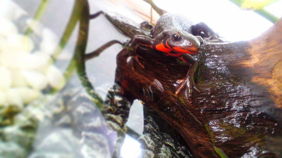 Newt アカハライモリ Japanese Fire Belly Newt 両生類 Amphibian Terrarium
