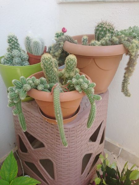 Potted Plant Growth Plant Green Color Nature No People Greenhouse Kaktüsaşkına Kaktüsler Flower Head Thorn Day Thorns And Beauty Cacti Glowing Nature No People Cacti Variety Succulents Cactus Flower Cactus Collection Cactus Garden Cacti Cactuslover Beauty In Nature Cactus Freshness Flowers