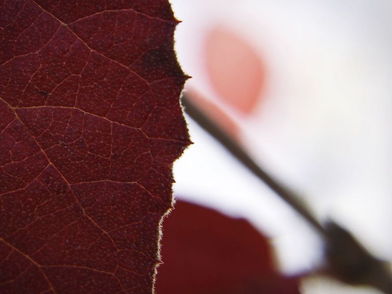 Winter red Red D5500 Close-up Leaf Nature