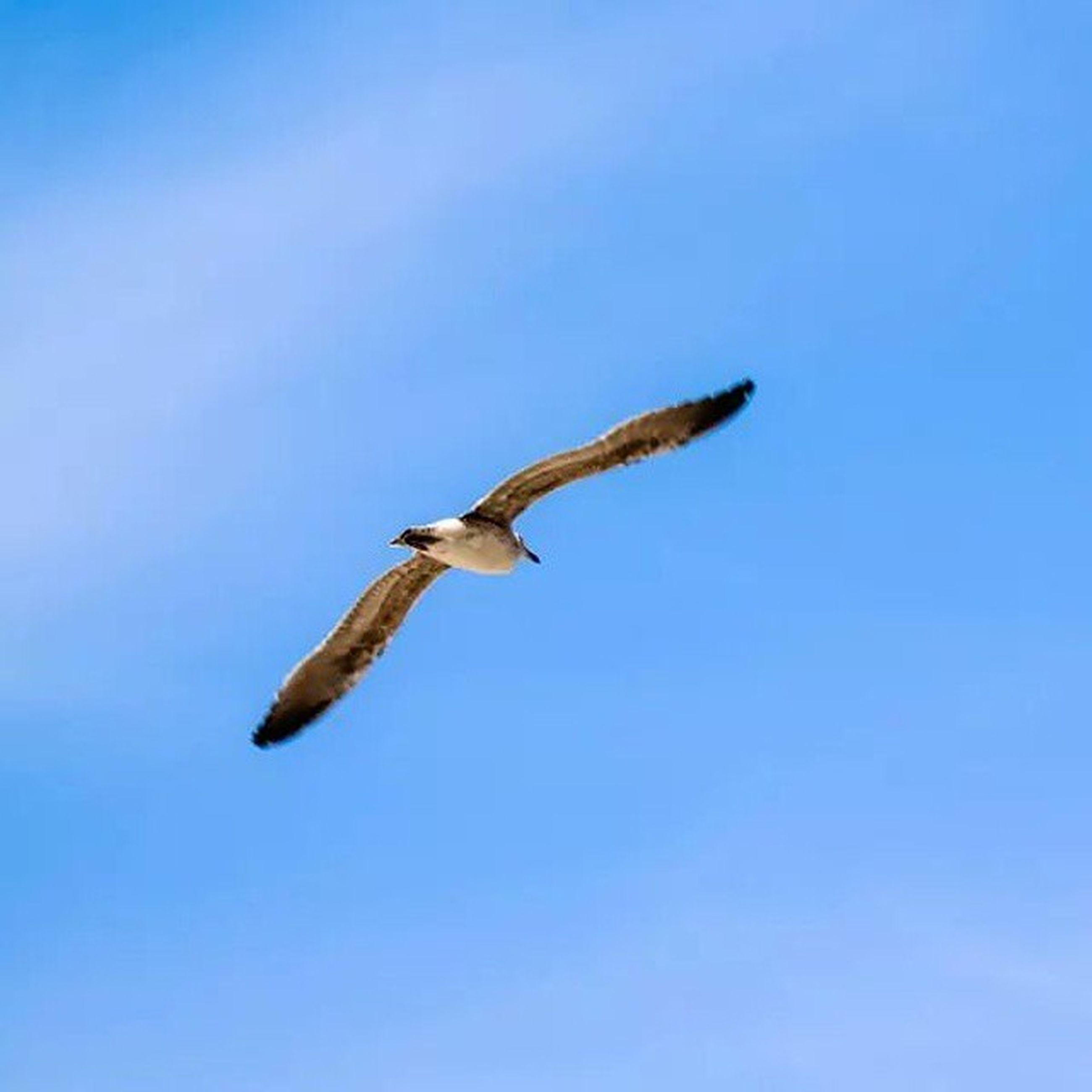 flying, bird, animal themes, animals in the wild, spread wings, low angle view, wildlife, clear sky, one animal, blue, mid-air, copy space, seagull, nature, full length, motion, day, no people, outdoors, flight