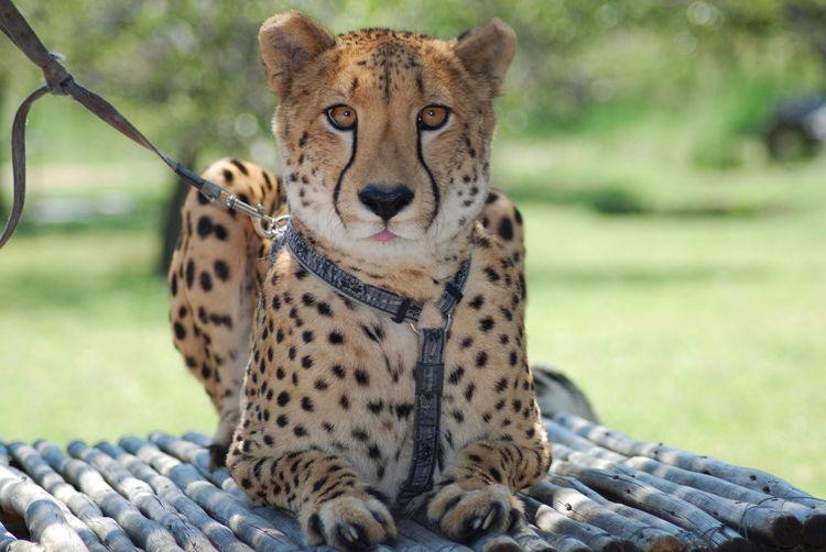 Portrait of cheetah sitting on bamboos at kruger national park